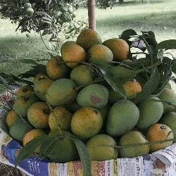 পাইকারি আমরূপালি আম ।। Omropali mango