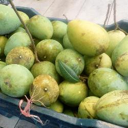 হিমসাগর আম ।। Himsagor Mango